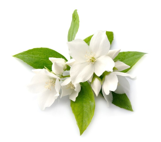Jasmine Flower Infusion   Lush Fresh Handmade Cosmetics UK Jasminum officinale