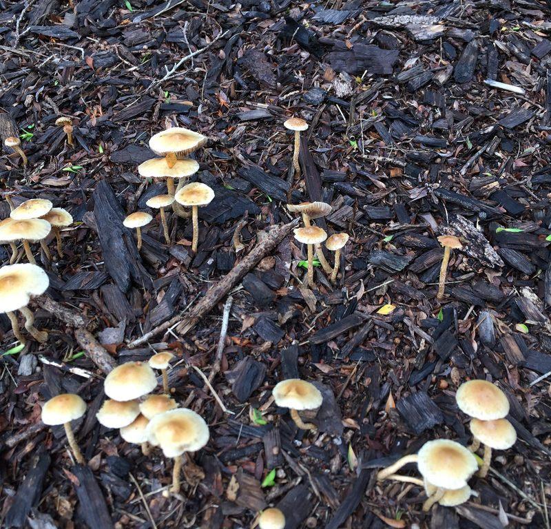 White Mushroom (Lepiotaceae) / Red Wolf