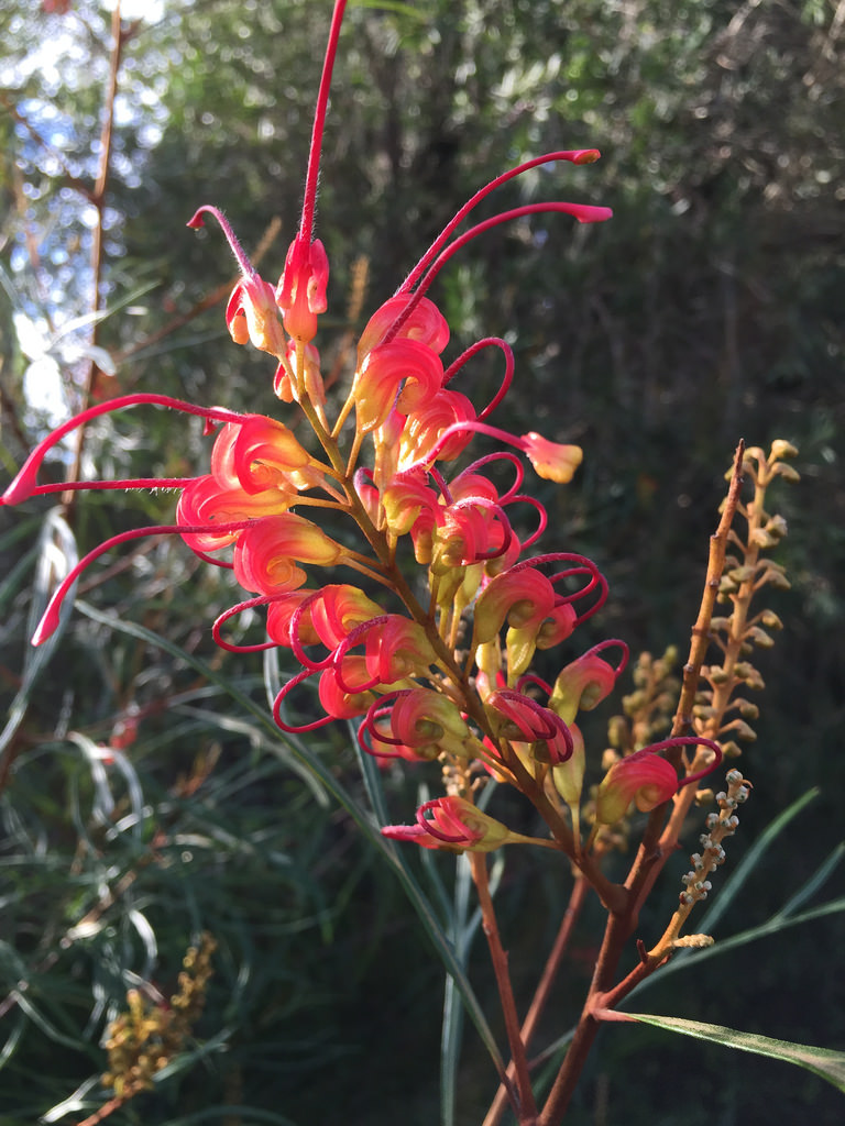 Red Grevillea / Red Wolf
