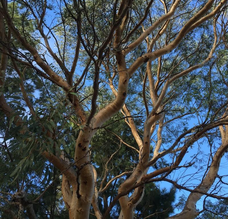 Scribbly Gum (Eucalyptus haemastoma) / Red Wolf