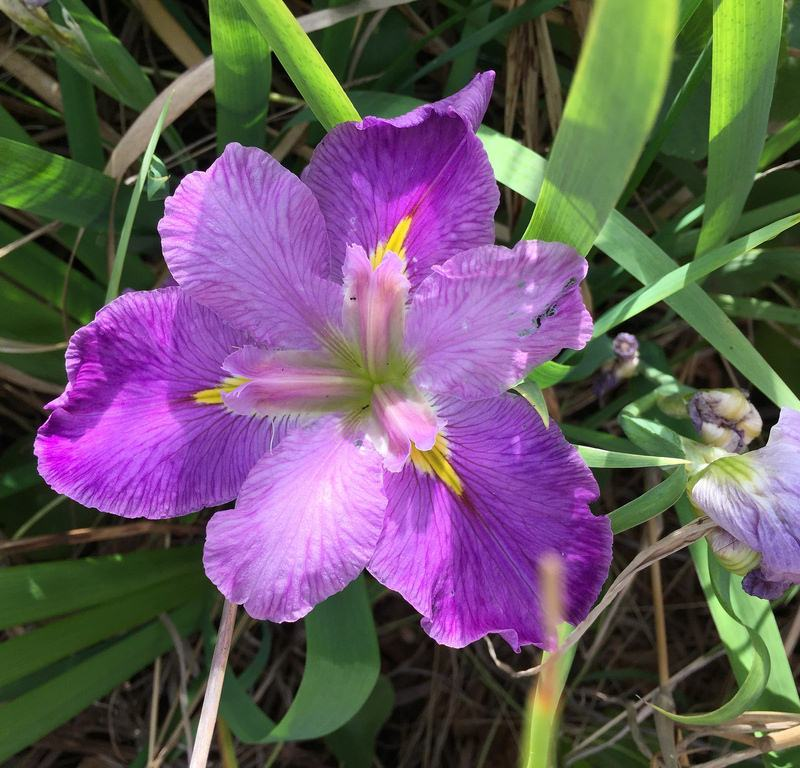 Wild Purple Iris / Red Wolf