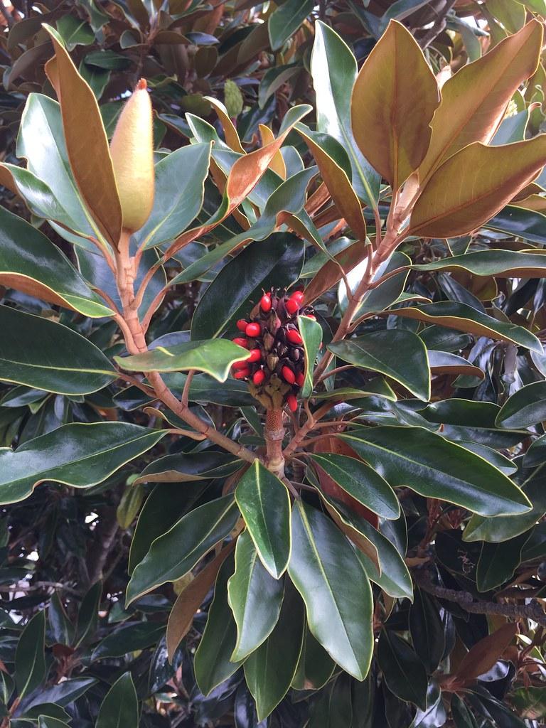 Bromeliad + Magnolia / Red Wolf