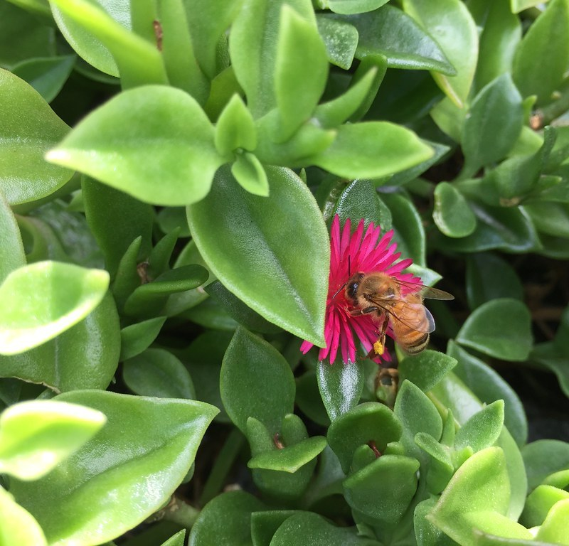 Bee on Aptenia cordifolia / Red Wolf