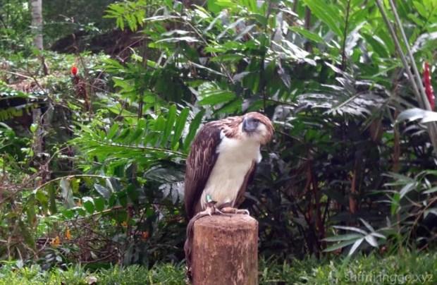 2016 05 philippine eagle