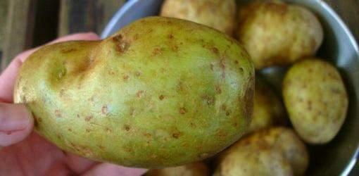 "unripened ""green"" potatoes"