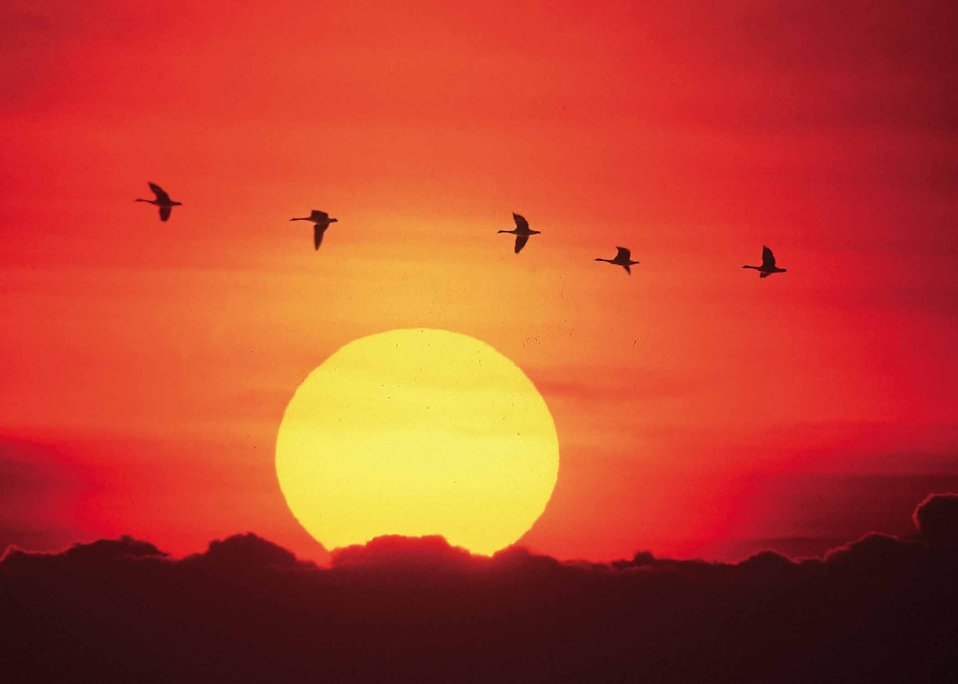 Sunset Free Stock Photo Geese Flying In Front Of A