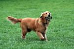 Free Stock Photo: A Golden Retriever fetching a tennis ball