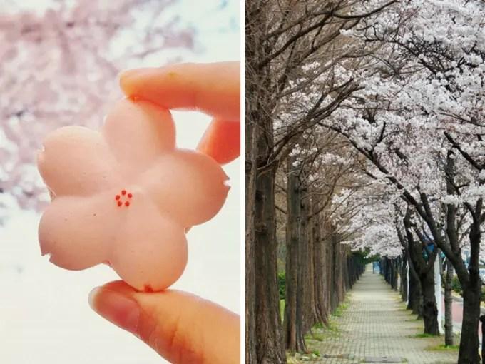 jinhae là một địa điểm ngắm hoa anh đào tại hàn quốc