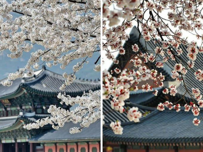 cung điện gyeongbok là một địa điểm ngắm hoa anh đào ở hàn quốc