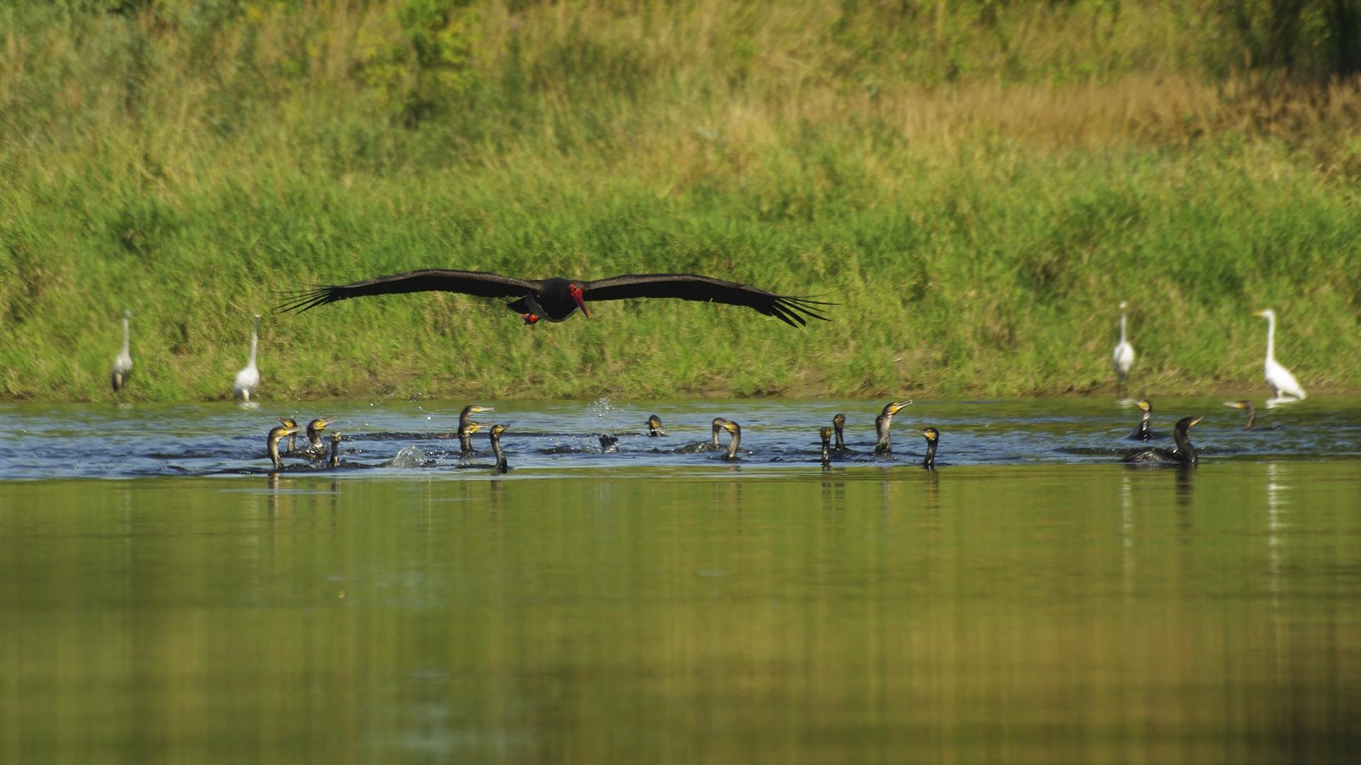 Bocian czarny(cormorany podczas żerowania)