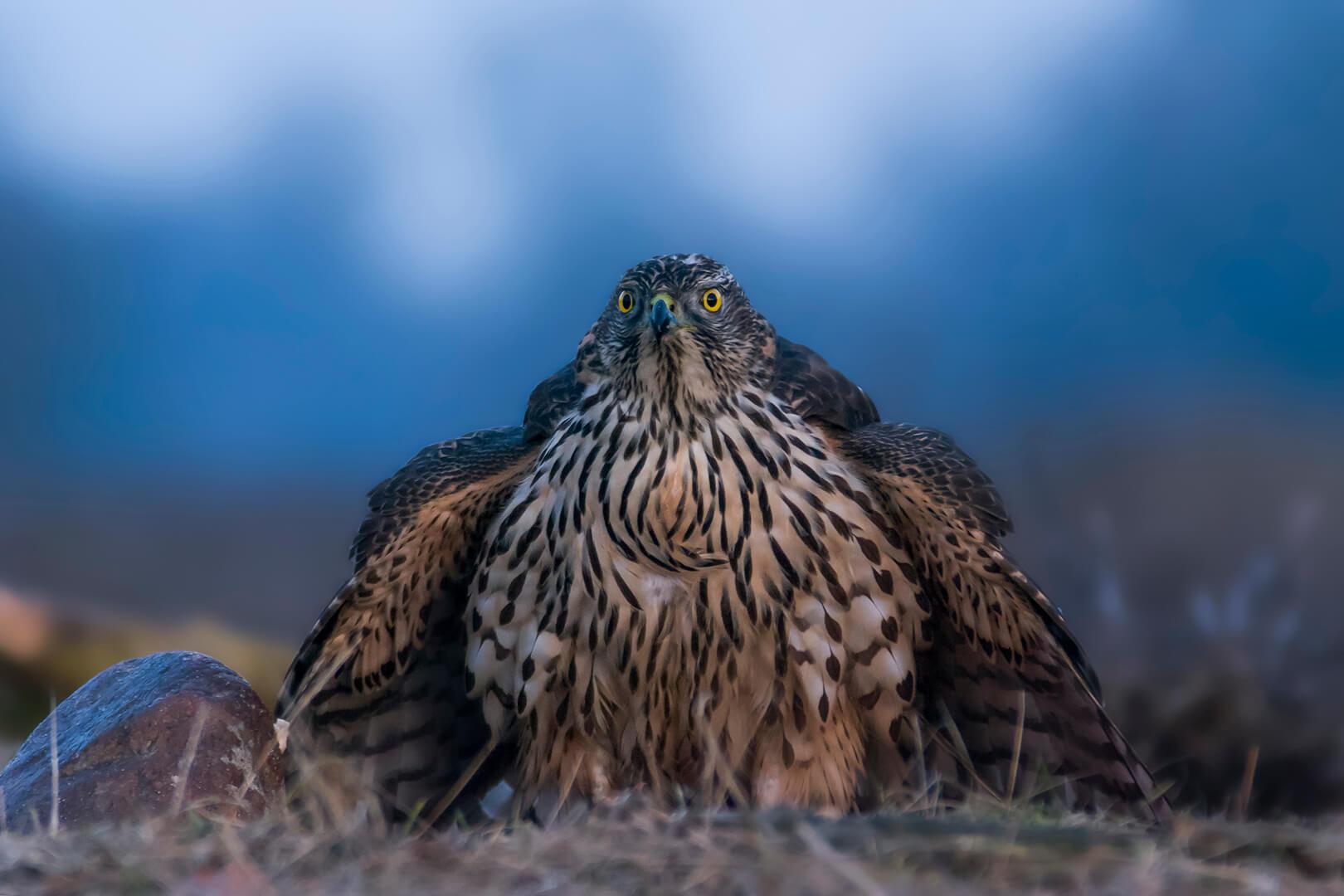 Jastrząb zwyczajny, jastrząb, jastrząb gołębiarz (Accipiter gentilis)