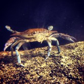 """""""Come at me, Bro"""" -Surly Crab"""