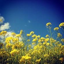 Mustard and Sky