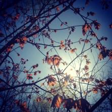 The Awakening of the Red Maple