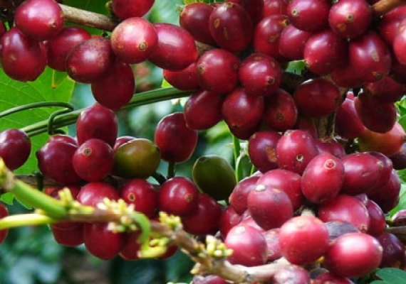 Who Knew, Coffee Beans are a Seed of a Fruit!