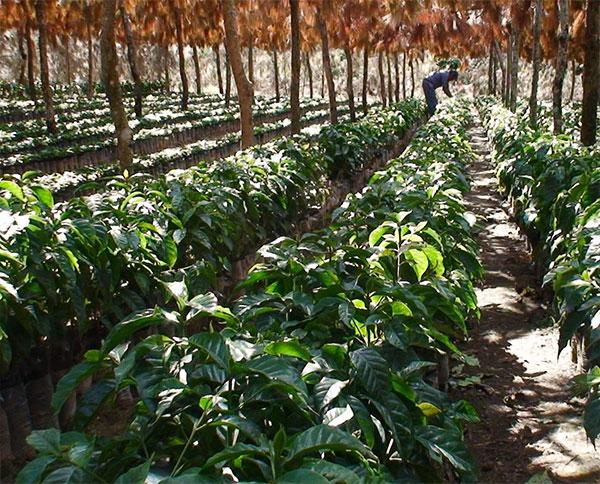 El Salvador Marina Cumbre Lavado Coffee - Rescue Me Coffee
