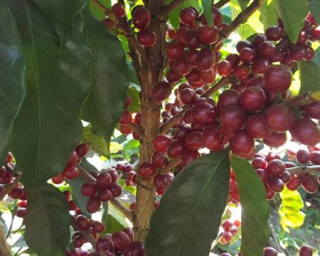 El Salvador Single Origin Coffee