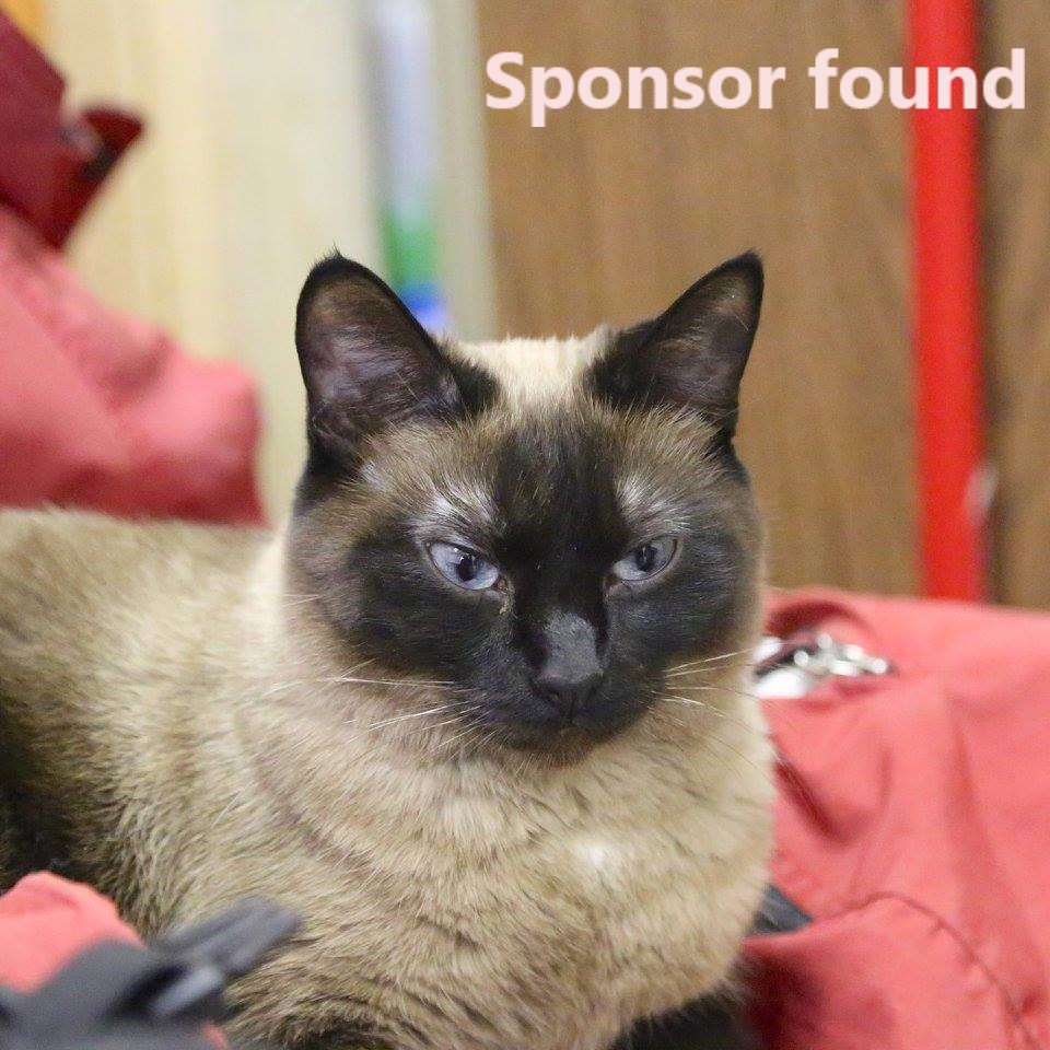 SPONSOR FOUND! Siamese Cross Seal point - female Date of birth: 2014 Sophie is a curious and active girl with lots of love to give. She loves to sit on any available lap and can't get enough attention from Rescue Siamese volunteers. Unfortunately, Sophie has an anxious personality and does not deal well with stress and lack of attention--this has resulted in litter box issues with past adopters. Sophie is now living with all her friends at the Rescue Siamese adoption centre.