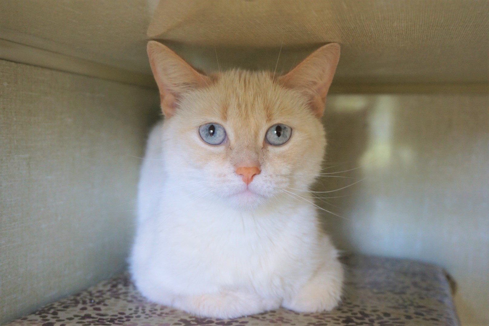 Siamese Cross Flame Point Female - spayed Date of birth: 2013 (5 years old) Meet Leia! This flame point beauty is brand new to our shelter building. She is not a huge fan of other cats, but she is good with people and will happily accept pets once she gets a few sniffs in! She likes to play as well, so be sure to stock up on toys if you're interested in taking her home! 😺 If you would like to meet Leia, you can visit her at our store location at 38 Barberry Road during regular opening hours.