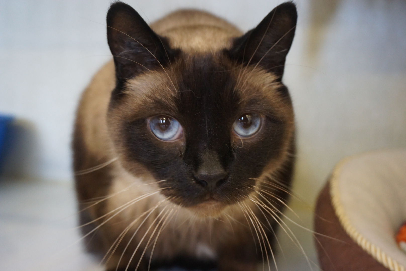 *MUST GO AS A PAIR WITH TC* Siamese Cross Seal Point Male - neutered Date of birth: May 2012 Tbeau and TC are here to double your fun! This pair is the perfect balance of sweetness and personality. Tbeau is more of the strong silent type, he hangs back a little bit but enjoys being petted and brushed and won't say no to a treat! TC is a sweetie with a dash of sass, she will let you know when you're not paying enough attention to her AND when she's had enough! Both like to play and seem especially fond of a feathery string toy. You'll be glad you added this duo to your family! 😽😽 They must be adopted as a pair. Their adoption fee is $180.00. If you would like to meet this dynamic duo, you can visit TC and TBeau at the Rescue Siamese adoption centre at 38 Barberry Road, during regular store hours.