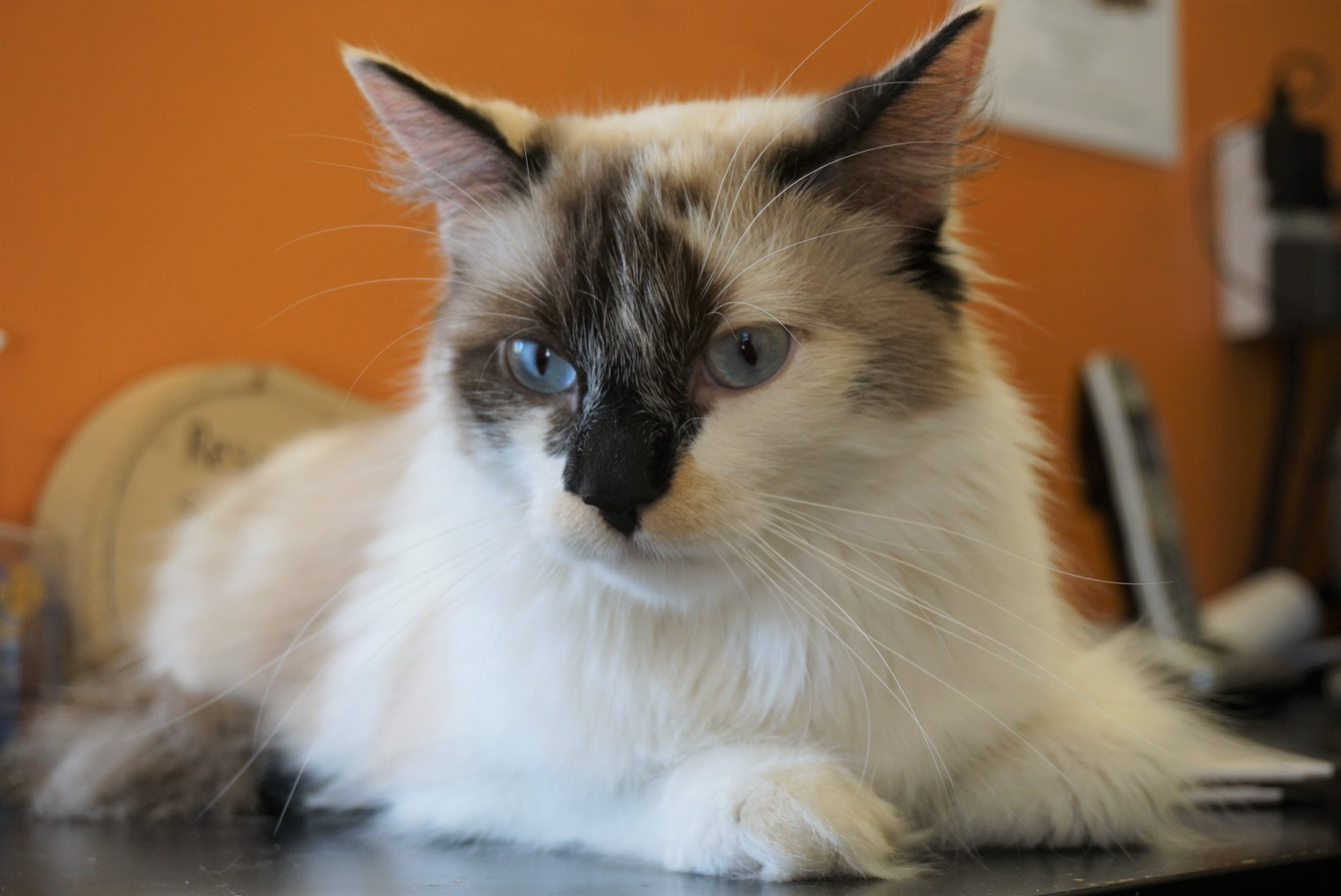 Siamese Cross Tortoise shell - Seal Point (Long Hair) Female - Spayed Date of birth: May 2017 Juniper is a feisty gal with tons of love to give! While Juniper is young and playful, she also loves to sit on laps and purr up a storm! Juniper has a confident personality and would do well in a home with other cats, or as a single pet. If you would like to meet this great girl, you can visit Juniper at the Rescue Siamese adoption centre at 38 Barberry Road, during regular store hours.