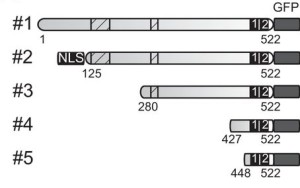 Loz1 domain and function