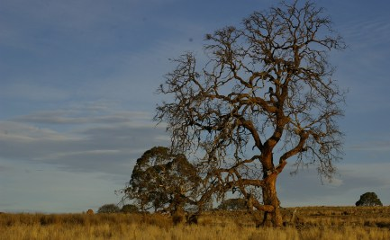 Large tree in a grassland