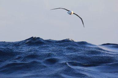 Image of albatross
