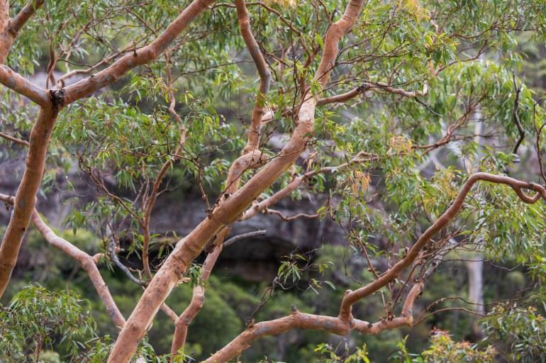 Salmon coloured branches of an Australian gum tree