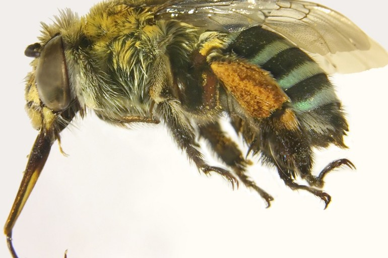A bee known as a blue banded bee with pollen stuck to its legs.