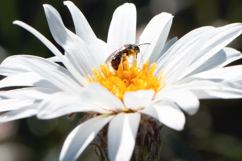 An isect standing on the yellow centre of a white-petal flower