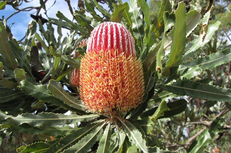 Red and orange banksia flower on a branch surrounded by leaves.