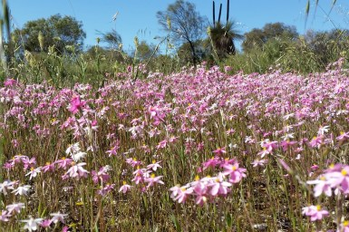 A field of pink flowers with grrass seed heads, grass trees and shrubs and trees in the background.