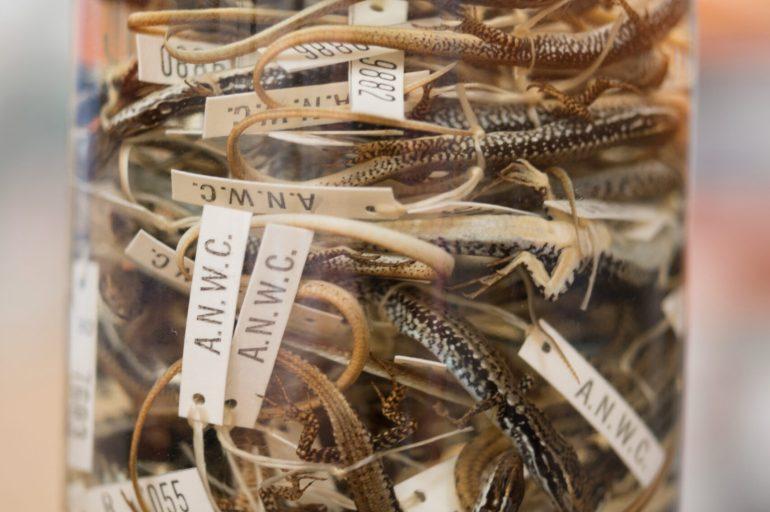 Specimens of preserved lizards in a liquid in a clear glass jar.