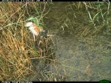 A swamp harrier (Circus approximans) chases a straw-necked ibis chick into the water (image 2). Image credit: CSIRO