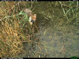 A swamp harrier (Circus approximans) chases a straw-necked ibis chick into the water (image 6). Image credit: CSIRO