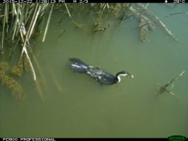 A little pied cormorant (Microcarbo melanoleucos) is caught with a fish by a fallen camera. Image credit: CSIRO