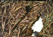 A curious Australian white ibis checks out a fallen camera. Image credit: CSIRO