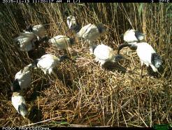 Australian white ibis congregate in a courting/nest crash party. Image credit: CSIRO