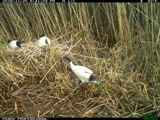 An Australian white ibis carries nesting material. Image credit: CSIRO