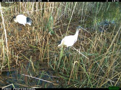 A juvenile Australian white ibis (right) and adult (left). Image credit: CSIRO