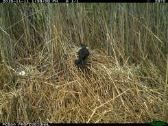 An Australian Raven (Corvus coronoides) takes an egg from an Australian white ibis nest (image 1). Image credit: CSIRO