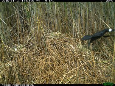 An Australian Raven (Corvus coronoides) takes an egg from an Australian white ibis nest (image 2). Image credit: CSIRO