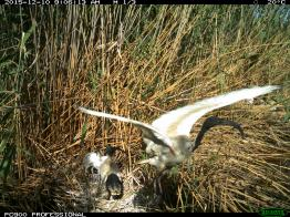 An Australian white ibis relieves its partner of parenting duties. Image credit: CSIRO