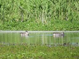 Pink-eared ducks. Image credit: Freya Robinson