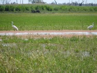Intermediate egrets. Image credit: Freya Robinson