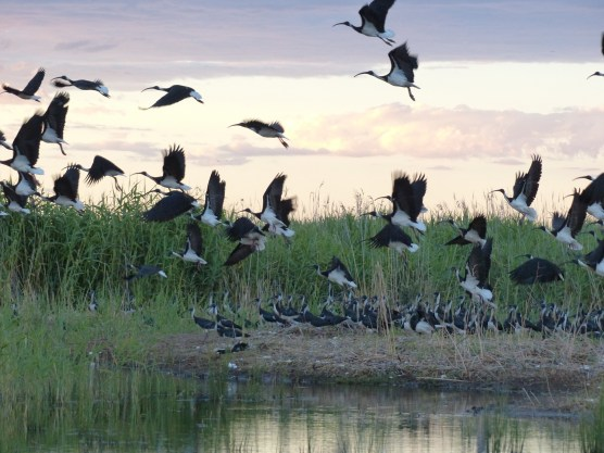 Straw-necked ibis taking off from nests. Image credit: Heather McGinness