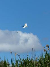 Australian white ibis in flight. Image credit: Heather McGinness