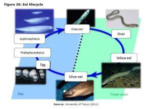 Figure 30: Eel lifecycle