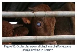 Figure 10. Ocular damage and blindness of a Portuguese animal arriving in Israel